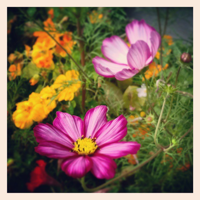 The heart is like a garden: it can grow compassion or fear, resentment or love. What seeds will you plant there? - @JackKornfield    #qotd #hybid #seeds #cosmos #flowers #summer #garden #love #yyc