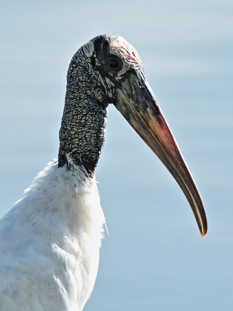 Wood Stork portrait 20140908