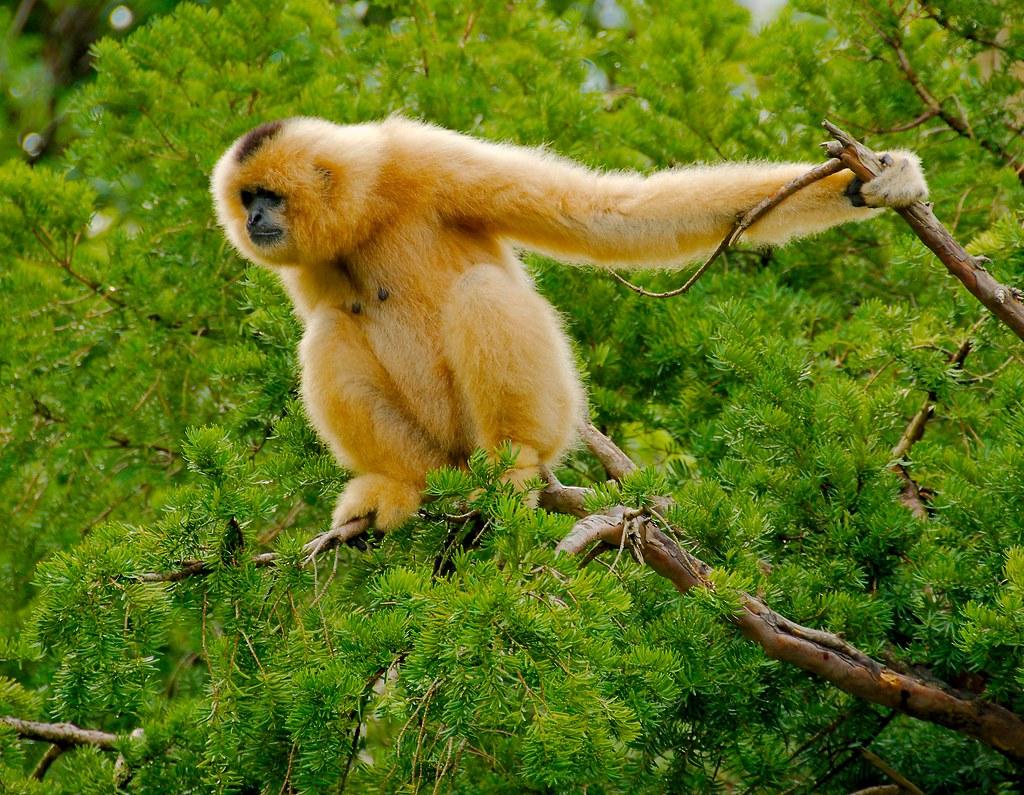 Buff Cheeked Gibbon (Hylobates gabriellae)_2