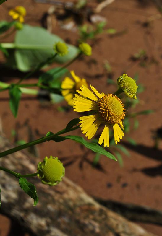 Helenium autumnale (8)