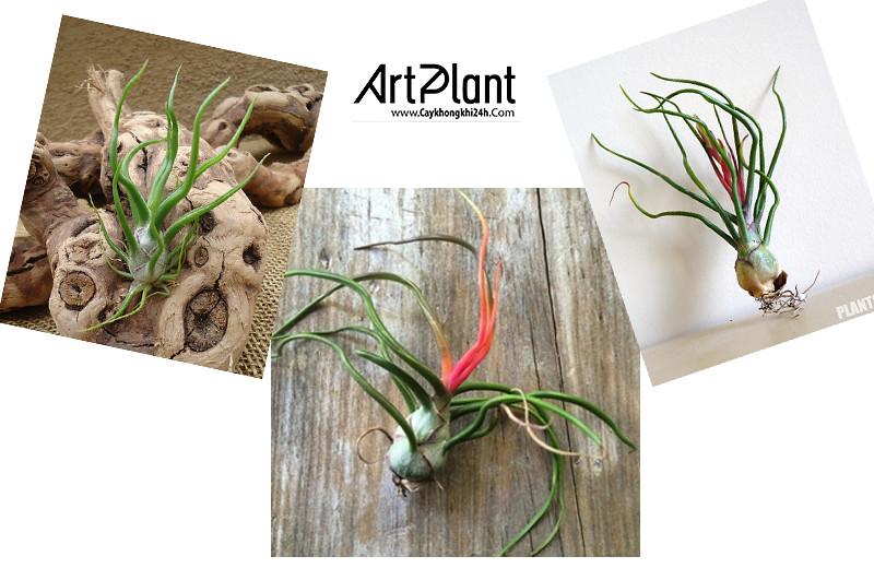 art plant | cay khong khi | tieu canh khong khi | terrarium | khong khi nhan sam