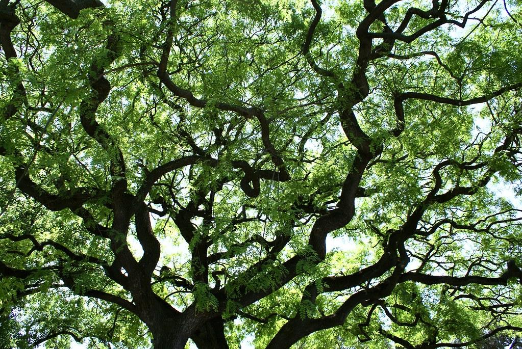 Branches en zig-zag dans le quartier de Belem à Lisbonne.