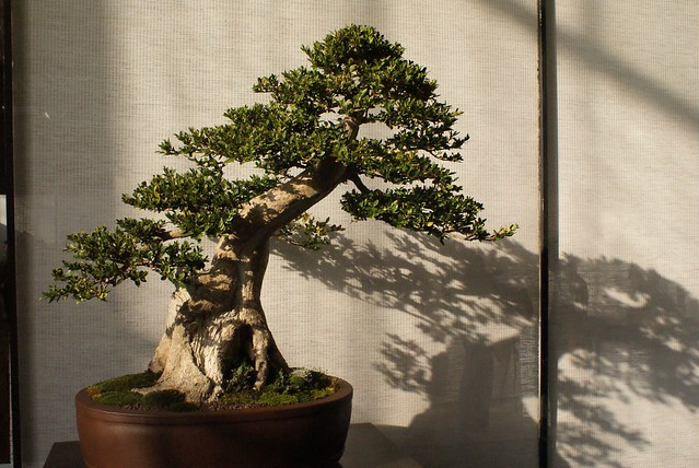 Un bonsai plein de douceur.