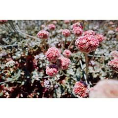 Untitled -- Pescadero, CA #flowers #bayarea #nature