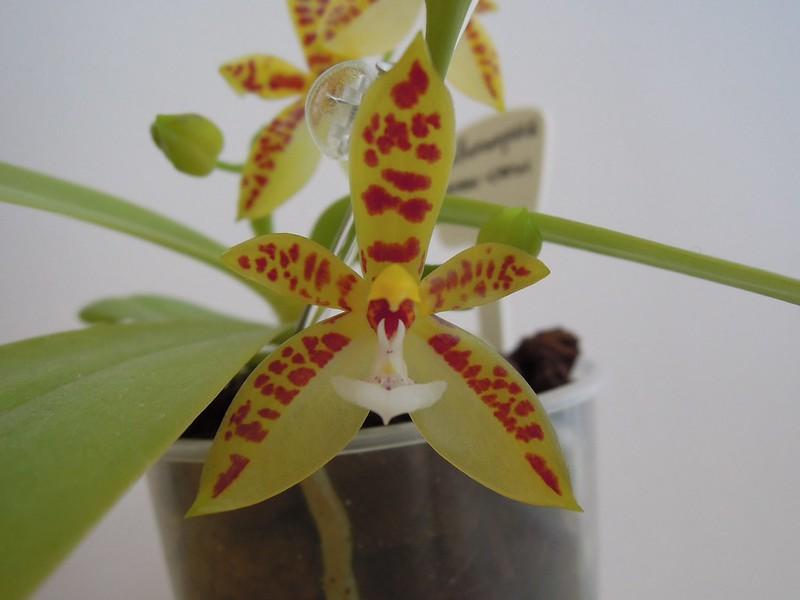 Phalaenopsis cornu-cervi 14235296750_129849fb63_c