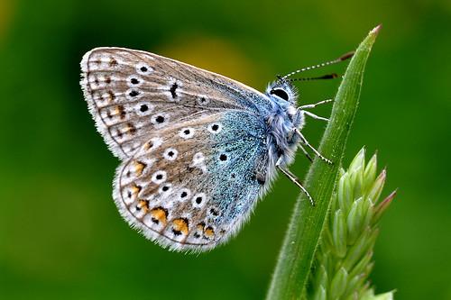 blue macro nature butterfly nikon natur icarus common fjäril d90 polyommatus hona puktörneblåvinge