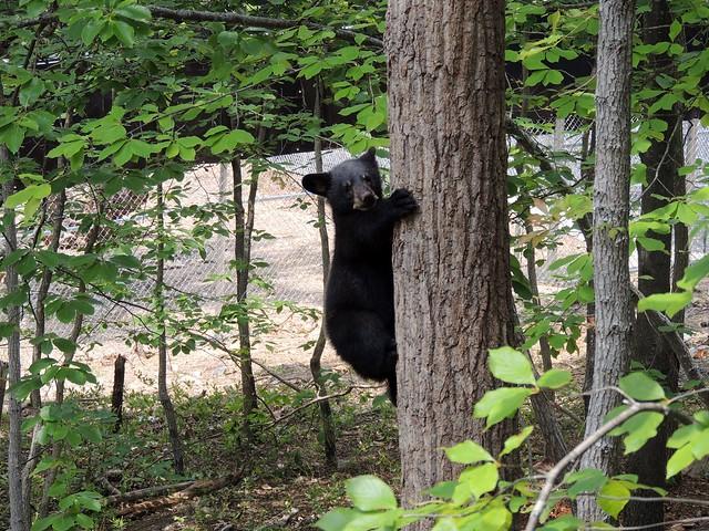 Black Bear cubs 2014