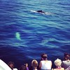 Humpback whale watching off P-town - mother (underwater) and calf