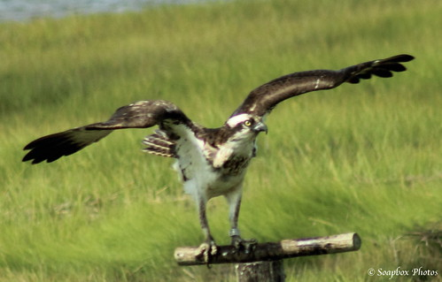 """Osprey"" ""the brig"" ""Edwin B. Forsythe National Wildlife Refuge"""