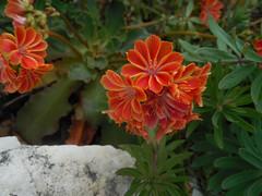 Lewisia flower
