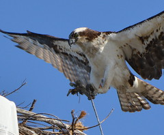 Osprey at Alameda Point