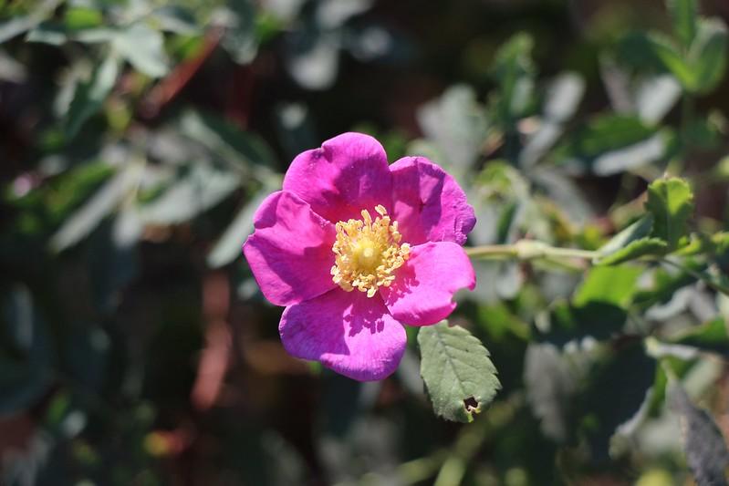 Wild Rose Flower (primrose)