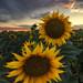 Sunflower Invasion - Woodland, CA by JaveFoto