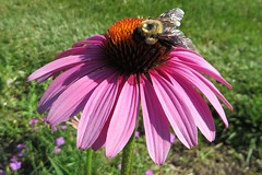 Coneflower with a Bumblebee
