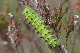 Emperor Moth/Kleines Nachtpfauenauge ...