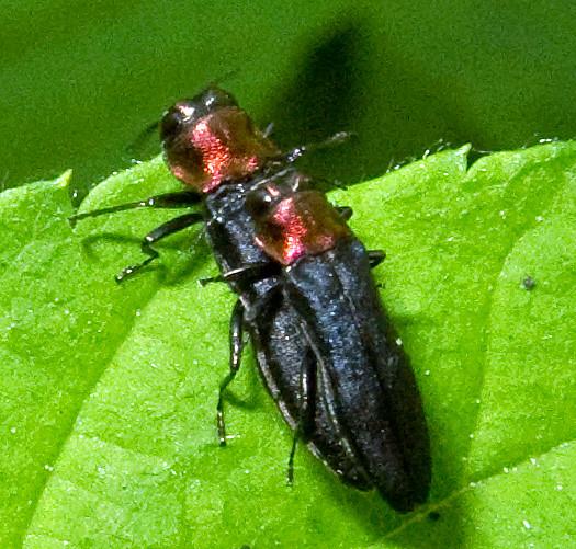 Metallic Wood Boring Beetles