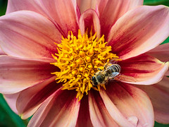 Dahlia with Bee; Dahlie mit Biene (4:3)