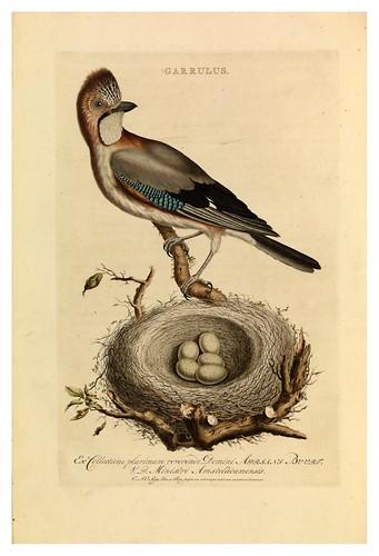 020-Garrulus- Nederlandsche vogelen- Nationale bibliotheek van Nederland