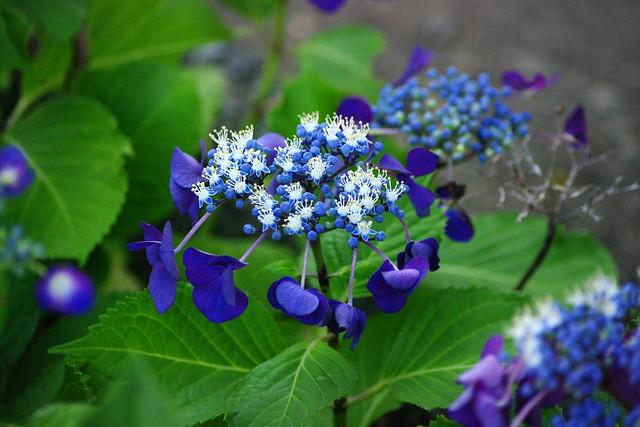 蝦夷額紫陽花