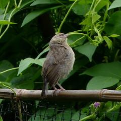 Cowbird fledgling