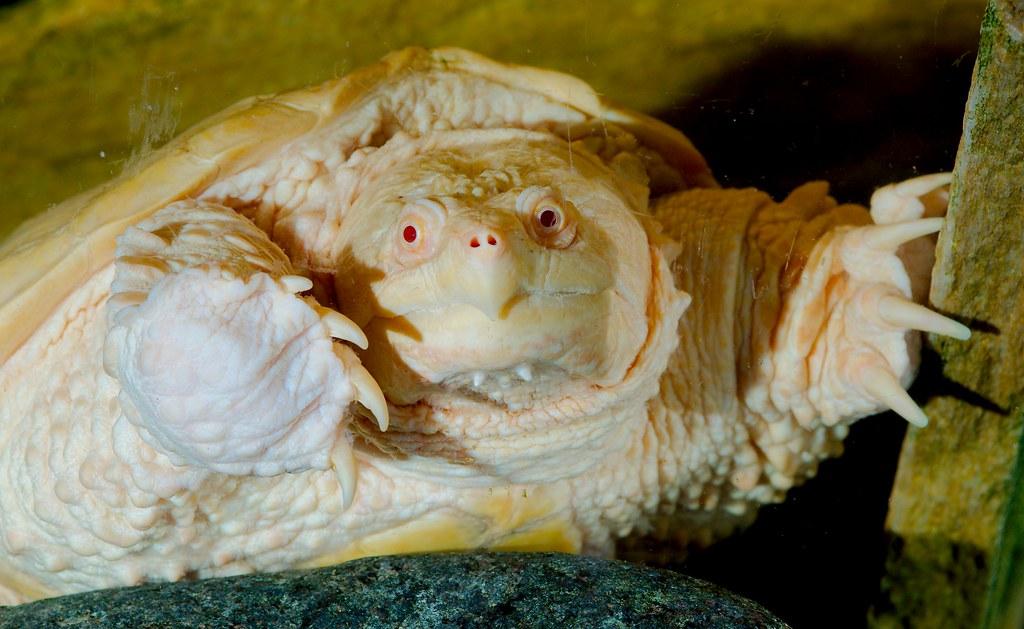 Snapping Turtle - Albino_1