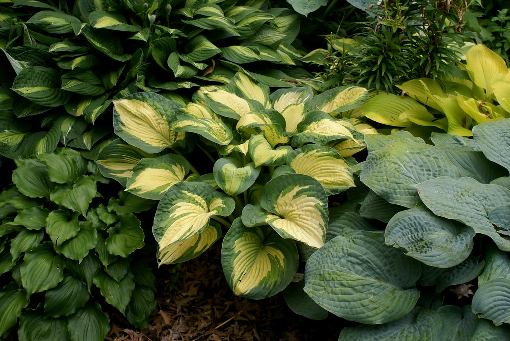 Hosta 'Great Expectations' (2)(08&11)-001