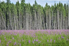 Fireweed 7288 - Uploads from NorthernMinnesotaPhoto - sweetwaterphotoonline.com