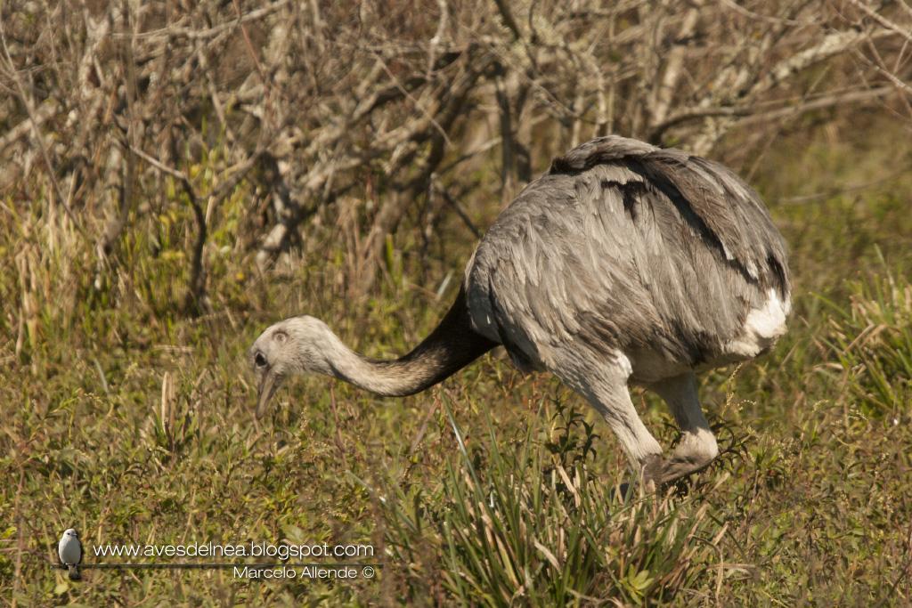Ñandú (Greater Rhea) Rhea americana
