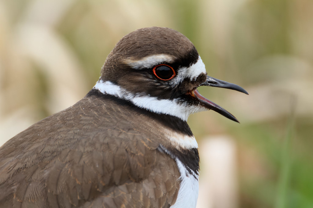 A close-up view of a killdeer calling out to its mate