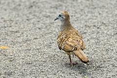 Peaceful Dove (Male)