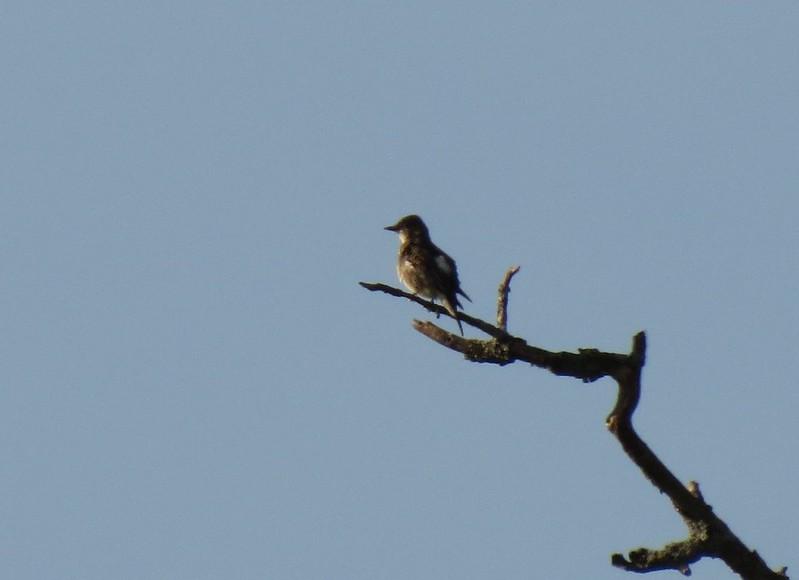 IMG_2604 Olive-sided Flycatcher