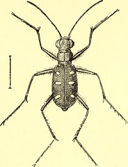 """Image from page 428 of """"Coleoptera : general introduction and Cicindelidae and Paussidae"""" (1912)"""