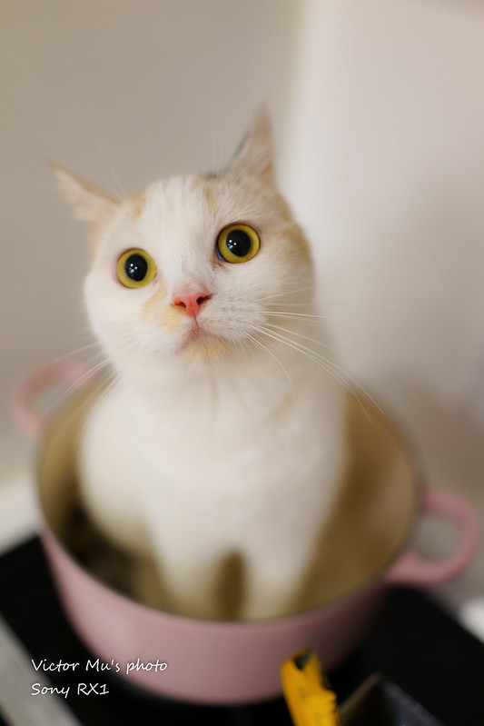 萌 喜歡躲在鍋子裡的喵
