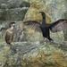 Cormoran huppé - Phalacrocorax aristotelis (Archipel de  Molène - Le Conquet - Bretagne) 15 Aout 2014 #1
