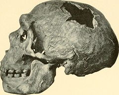 physical anthropology homo erectus Homo erectus is known to be the first hominid species to move out of africa into europe and asia homo erectus possessed a different set of physical traits from homo habilis , including a larger brain and larger body size.