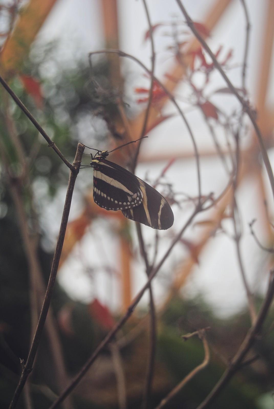 Amazon Butterflies at the Rotterdam Zoo (Blijdorp).
