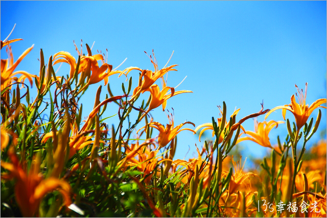 花蓮2014赤柯山金針花季