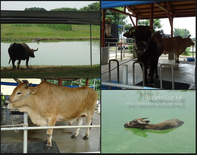 老牛的家。老牛