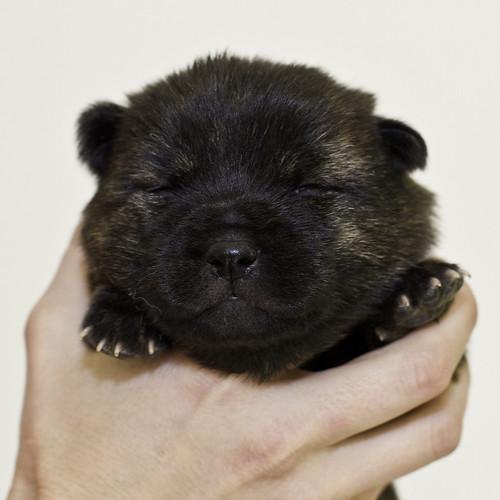 Nori-Litter2-10Days-Puppy1(male)a