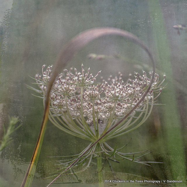 Queen Anne's Lace Botanical Series 5-9 #9