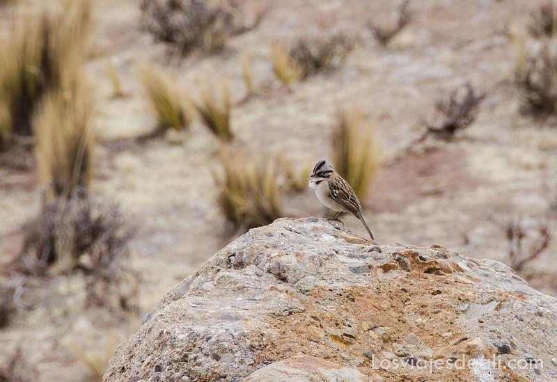 pájaro en las alturas de Perú