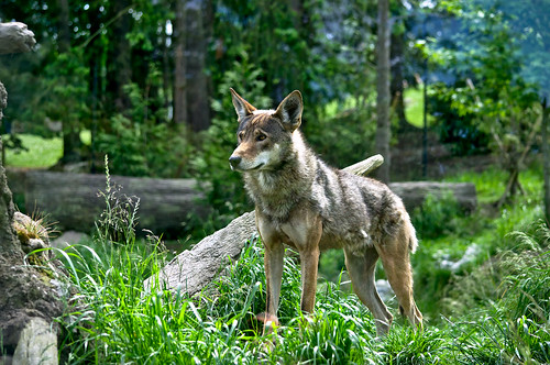 Red Wolf on the Lookout