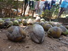 Nuts... coconuts! Goa 2014