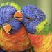 perroquet couple guyane ©jcm973