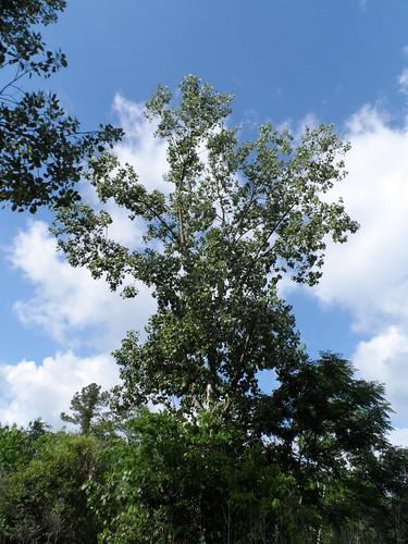 CottonwoodTree