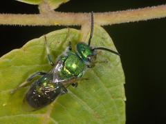 Cuckoo/Jewel wasps