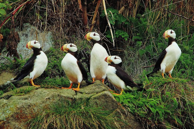 A Gathering of Horned Puffins | Understanding Your Rapidly Evolving Audience