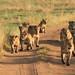 Serengeti Day 3 and Simba camp