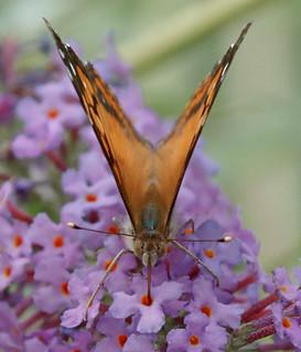 "butterfly ""American Lady"""
