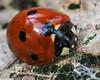 Deep Red Ladybug